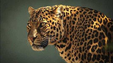 Владелец утверждает, что из зоопарка сбежал кот, а не леопард - фото 1