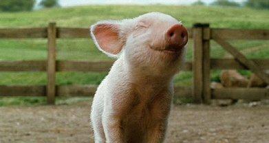 Спецслужбы разыскивают владельца погибших свиней и новые случаи заражения - фото 1