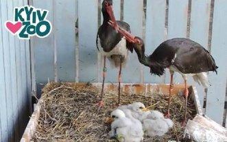 Родители-аисты ждут еще двоих птенцов  - фото 1