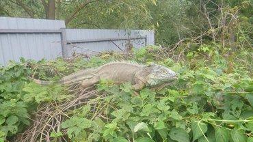 Игуана забралась в огород в Киевской области  - фото 1