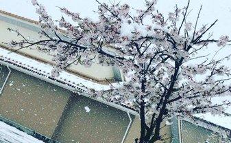 В Японии впервые за 17 лет выпал апрельский снег - фото 1