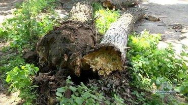 Аварийное дерево упало на школьников - фото 1