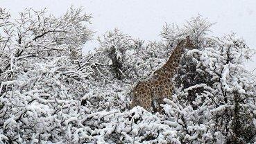 Жирафы в снегу: Типичная Африка сейчас - фото 1