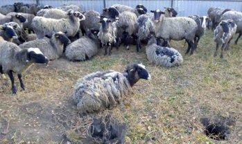 Выживших овец отправили к ветеринарам - фото 1