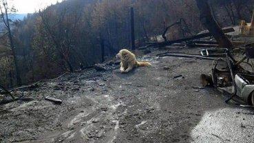 В Калифорнии собака месяц ждала хояев на месте сгоревшего от лесного пожала дома - фото 1