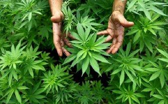 В Таиланде легализовали марихуану - фото 1
