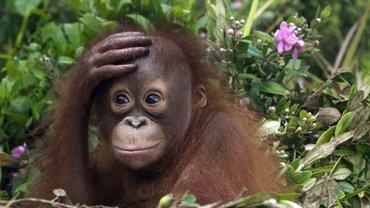 Россиянин пытался вывезти из Бали детеныша орангутанга - фото 1