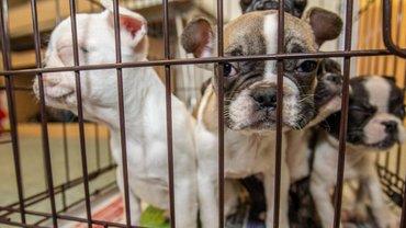 Гибель щенков по вине МАУ: Компания отстранила главу логистики - фото 1