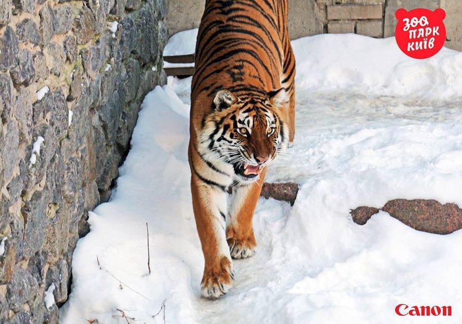 Милые котики. Как тигры из киевского зоопарка обрадовались снегопаду - фото 33438