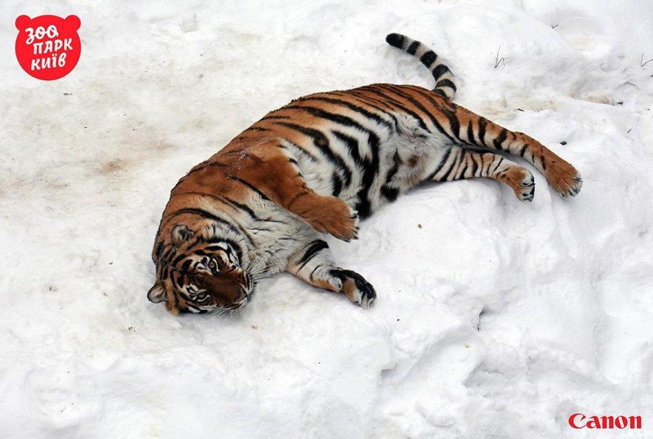 Милые котики. Как тигры из киевского зоопарка обрадовались снегопаду - фото 33441