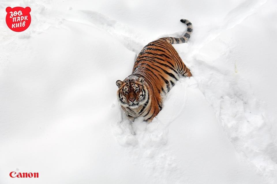 Милые котики. Как тигры из киевского зоопарка обрадовались снегопаду - фото 33445