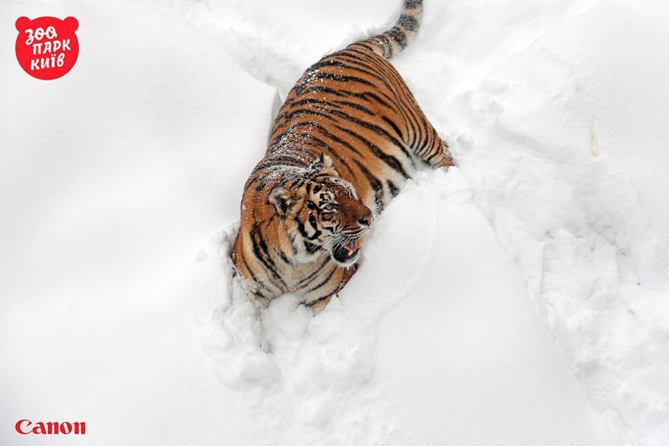 Милые котики. Как тигры из киевского зоопарка обрадовались снегопаду - фото 33439