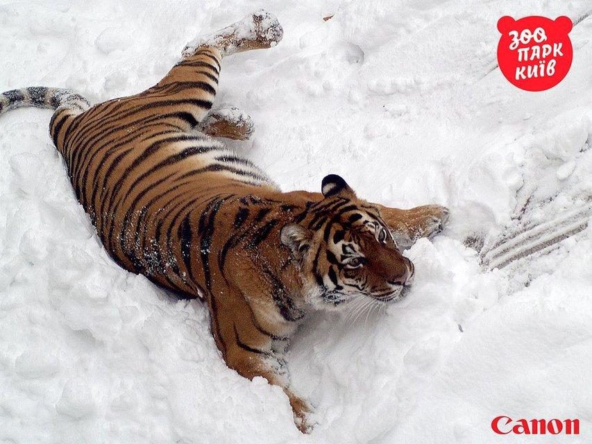 Милые котики. Как тигры из киевского зоопарка обрадовались снегопаду - фото 33442