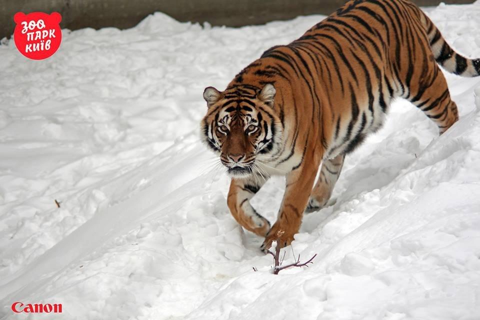 Милые котики. Как тигры из киевского зоопарка обрадовались снегопаду - фото 33440
