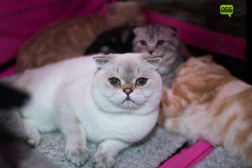 Международная выставка котов в Днепре - фото 94544