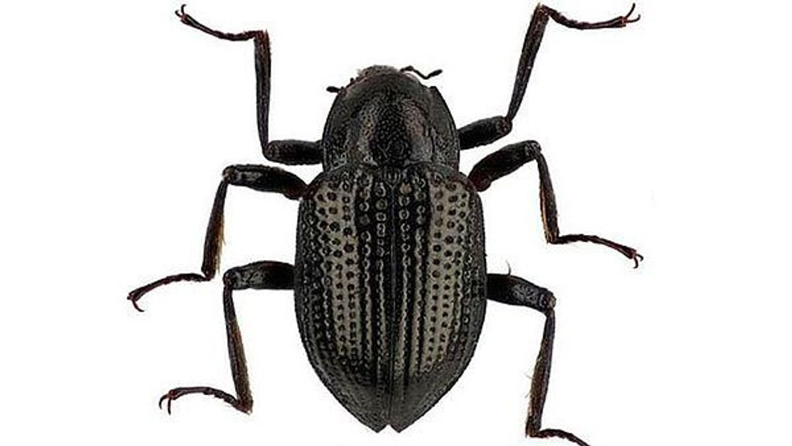Новый вид жуков носит имя Леонардо Ди Каприо - фото 122817