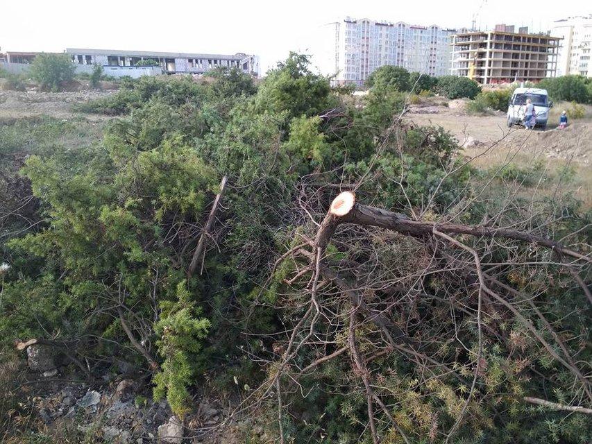 В Крыму массово вырубают деревья, занесенные в Красную книгу (ФОТО) - фото 130461