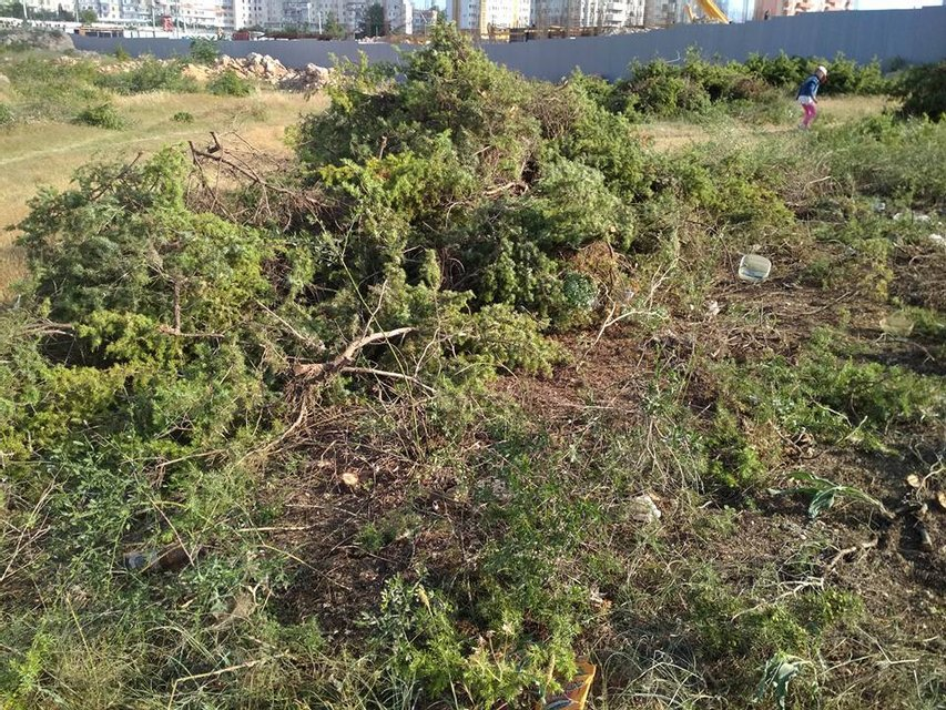 В Крыму массово вырубают деревья, занесенные в Красную книгу (ФОТО) - фото 130459