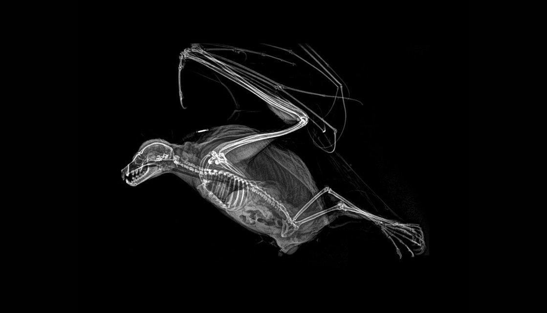 Зоопарк в Орегоне показал рентгеновские снимки живтоных - фото 154354
