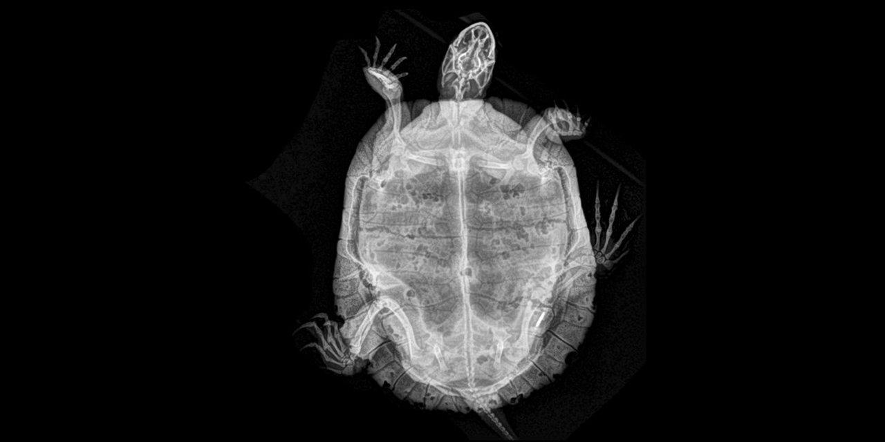 Зоопарк в Орегоне показал рентгеновские снимки живтоных - фото 154358
