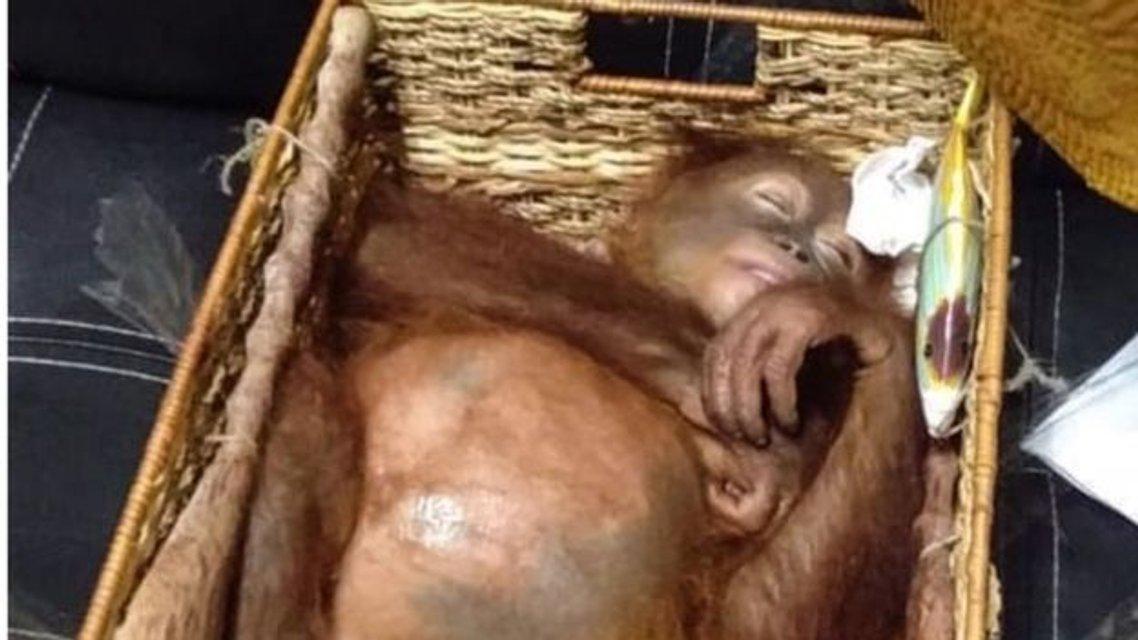 Россиянин пытался вывезти из Бали детеныша орангутанга - фото 177420
