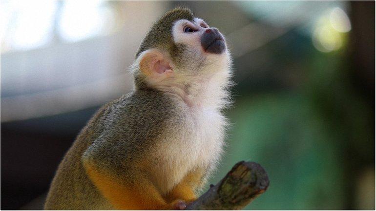 Капуцин - очень умная обезьяна, однако сумским чиновников придется обойтись без нее - фото 1
