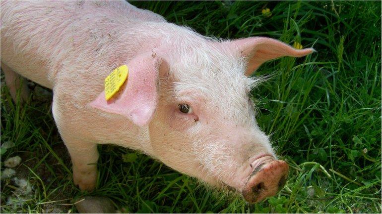 Цены на свинину растут - фото 1