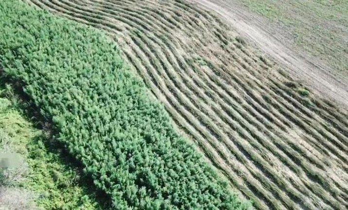 На территории аграрно-рыбохозайственного кооператива выращивали 20 тысяч кустов конопли - фото 1