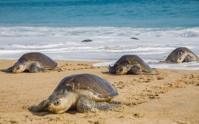 В Мексике нашли мертвыми сотни редких морских черепах - фото 1
