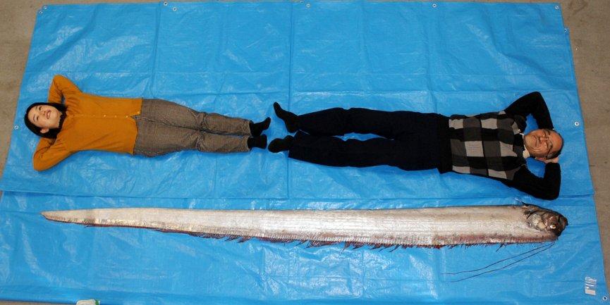В Японии на берег выбросилась самая длинная в мире рыба - фото 1