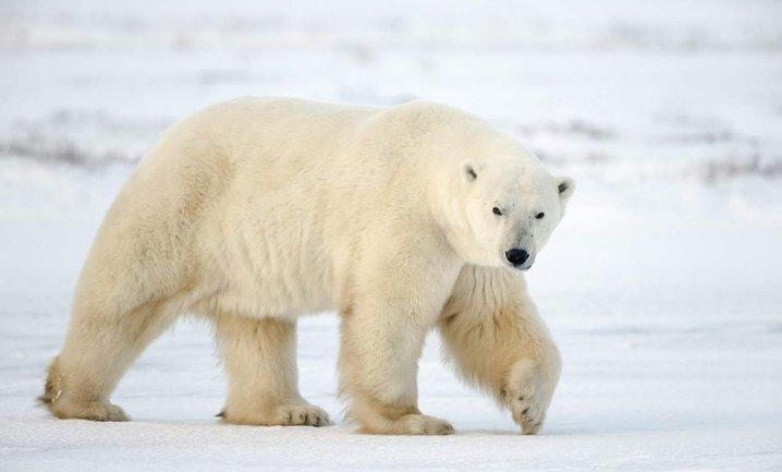 В Архангельской областиввели режим чрезвычайной ситуации из-за нашествия белых медведей - фото 1